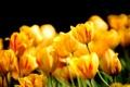Картинка цветы, природа, весна, лепестки, тюльпаны, бутоны