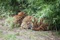 Картинка кошки, сон, отдых, кусты, тигры