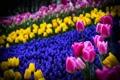 Картинка тюльпаны, клумба, розовые, весна, желтые, синие, цветы