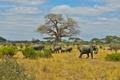 Картинка обитатели, саванна, африка, слоны, стадо