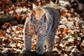Картинка Cat, foliage, Lynx