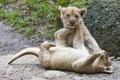 Картинка кошки, игра, пара, детёныш, котёнок, львята, львёнок