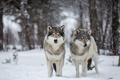 Картинка снег, природа, волки