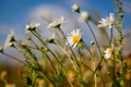 Картинка лето, цветы, природа, ромашки