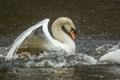 Картинка белый, вода, брызги, движение, птица, крылья, грация