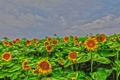 Картинка поле, небо, облака, цветы, подсолнух