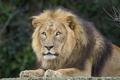Картинка кошка, взгляд, морда, лев, грива, ©Tambako The Jaguar