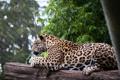 Картинка отдых, хищник, пятна, лежит, ягуар, дикая кошка, зоопарк