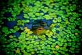 Картинка пруд, лягушка, подглядывает