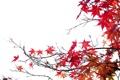 Картинка осень, листья, ветки, клен, багрянец