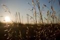 Картинка поле, лето, солнце, лучи, колоски, травы