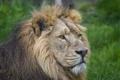 Картинка кошка, морда, лев, грива, ©Tambako The Jaguar