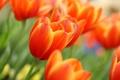 Картинка цветок, цветы, тюльпан, весна, тюльпаны, бутоны