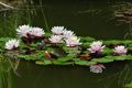 Картинка лето, вода, пруд, отражение, настроение, лягушка, лилия