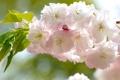 Картинка сакура, ветка, цветение, макро