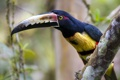 Картинка Costa Rica, Aracari, birdwatching