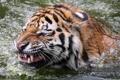 Картинка вода, природа, Sibirischer Tiger