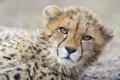 Картинка кошка, морда, гепард, детёныш, ©Tambako The Jaguar