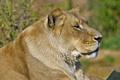 Картинка кошка, морда, профиль, львица