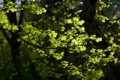 Картинка зелень, лето, листья, макро, ветки, дерево, листва