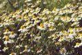 Картинка поле, цветы, ромашки, белые