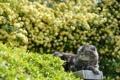 Картинка зелень, кошка, кот, природа, кусты, лежа