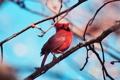 Картинка небо, ветки, птица, красный кардинал, виргинский кардинал, Cardinalis