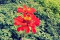 Картинка цветок, растение, циния