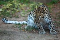 Картинка взгляд, хищник, пятнистая кошка, дальневосточный леопард