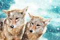Картинка взгляд, морда, снег, пара, койот