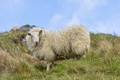 Картинка трава, взгляд, овца, ©Tambako The Jaguar