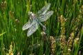 Картинка трава, осока, стрекозы