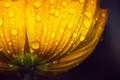 Картинка вода, капли, макро, цветы, желтый, роса, фон