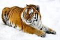 Картинка морда, снег, тигр, лапы, шкура