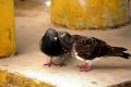 Картинка птицы, тайна, пара, голуби, секрет