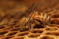 Картинка пчела, соты, Dinner time