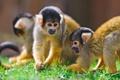 Картинка обезьяны, саймири, беличьи обезьяны