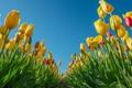 Картинка небо, листья, лепестки, тюльпаны, плантация
