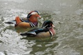Картинка вода, птицы, пруд, утки, мандаринка