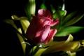 Картинка листья, роза, лепестки, бутон, полумрак