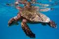 Картинка море, вода, морская черепаха