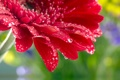 Картинка цветок, макро, роза, rose, flower, капли воды, water drops