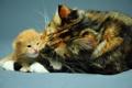 Картинка кошка, котенок, рыжий, трехцветная