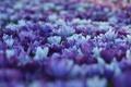 Картинка цветы, поляна, весна, размытость, Крокусы