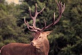 Картинка олень, рога, photo, photographer, самец, Greg Stevenson