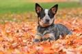 Картинка осень, листья, Австралийская пастушья собака, австралийский хилер
