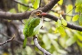 Картинка green, bird, asia, wildlife, tropical, delhi, barbet