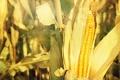 Картинка природа, фон, кукуруза
