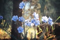 Картинка цветы, трава, лепестки, голубые