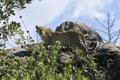 Картинка кустарник, скалы, листва, леопард